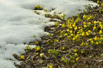 Aconites, Gingins, Switzerland